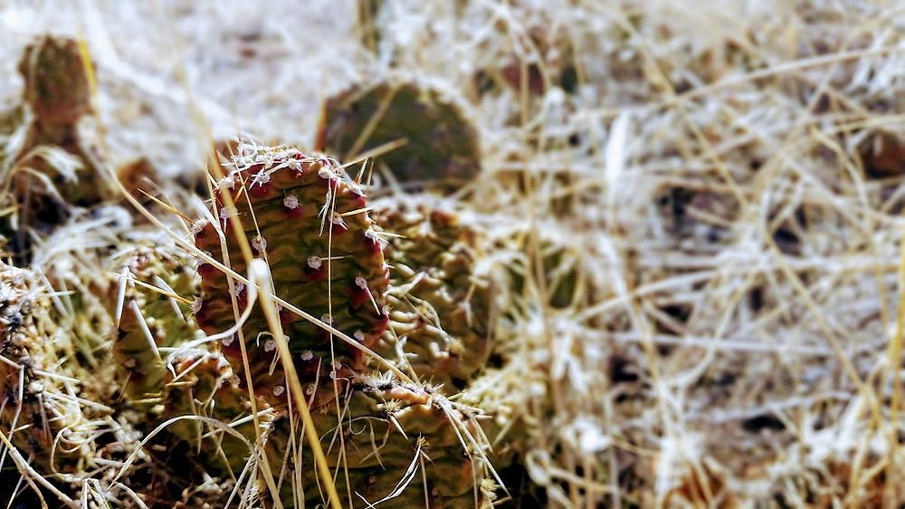 Cactus, Spring Canyon