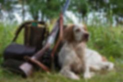 Hunting dog. Pointing dog. English sette