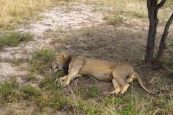 Lion, Tarangire National Park, Tanzania