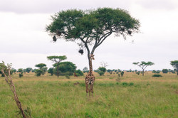 Giraffe, Tarangire National Park, Tanzania