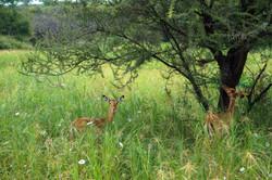 Impala, Tarangire National Park, Tanzania