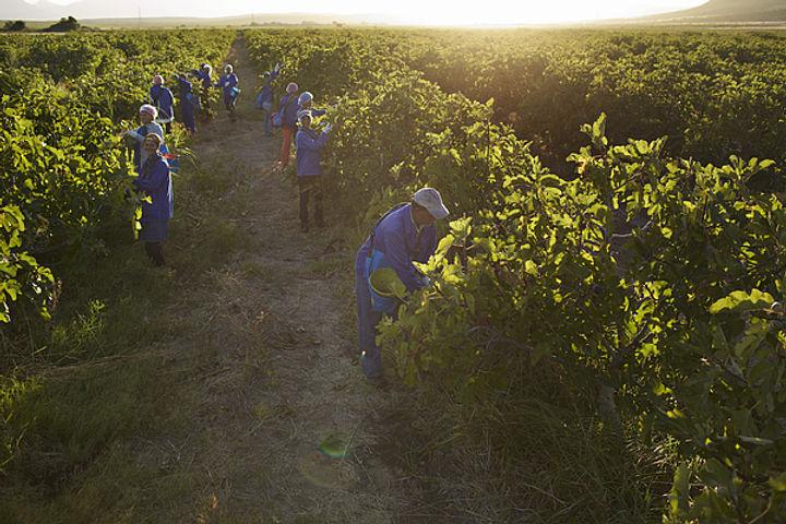 workers-at-fruit-farm-harvesting-figs-at-sunrise-klaus-vedfelt.jpg