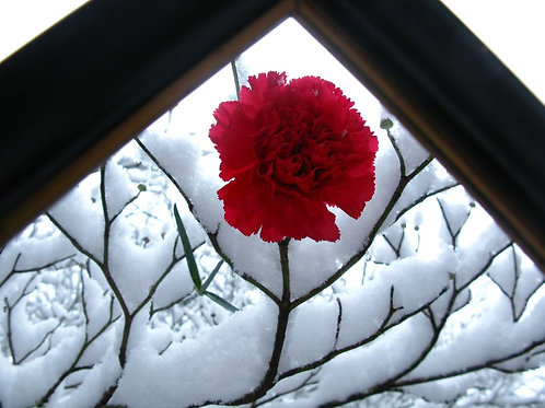 Smiling Winter Carnation-Art Cards & Prints