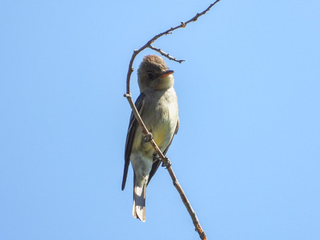 Summer Birding | Nira Campground, Los Olivos, CA