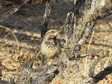 Spring Birding   Cottonwood Spring Oasis, Joshua Tree National Park, CA