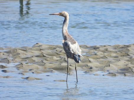 Fall Birding | Santa Ynez River Estuary, Lompoc, CA