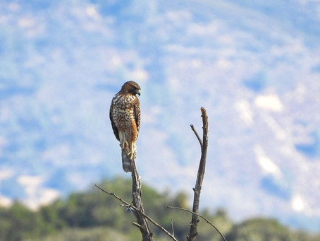 Fall Birding | Cachuma Lake Recreation Area, Santa Barbara, CA