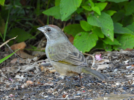Backyard Visit | Rare Green-tailed Towhee