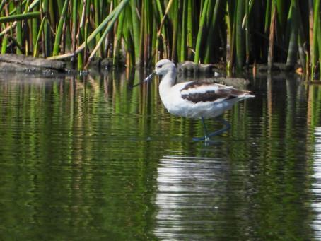 Fall Birding | Andree Clark Bird Refuge, Santa Barbara, CA
