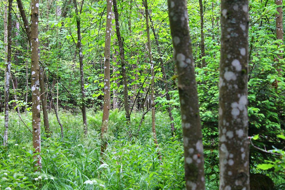 Dichter Wald mit diversen weiß befleckten Bäumen