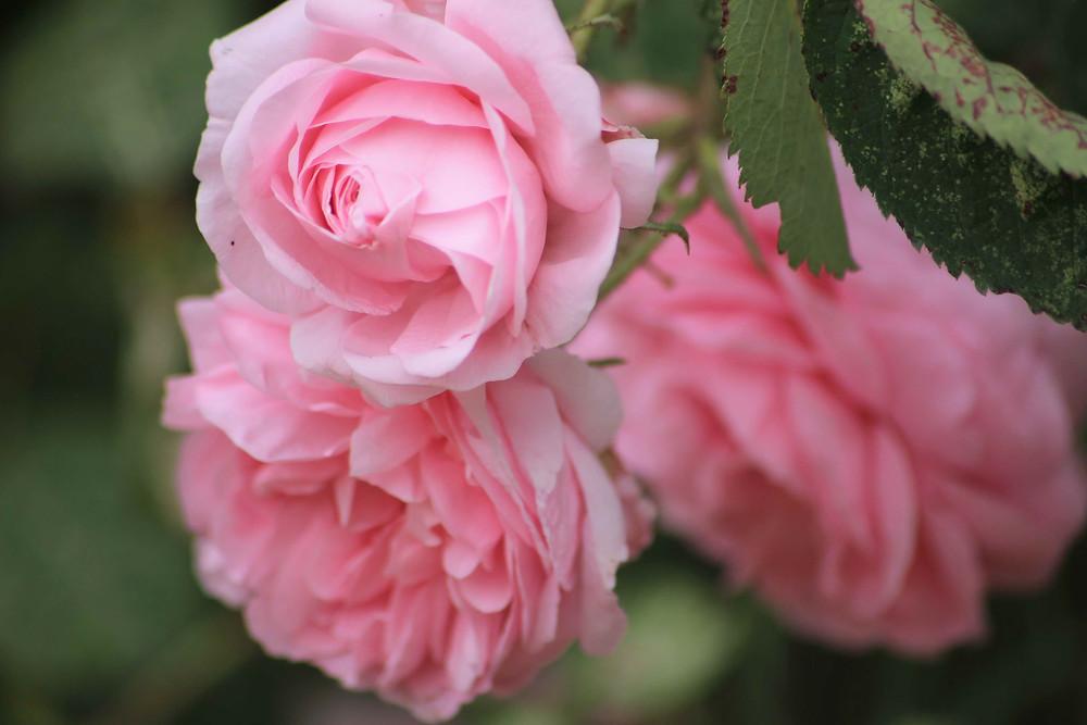 Rosa Rosen stehen als ein Symbol für die Liebe