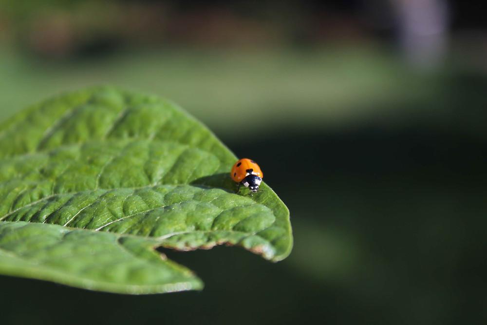 Ein Marienkäfer auf einem Blatt