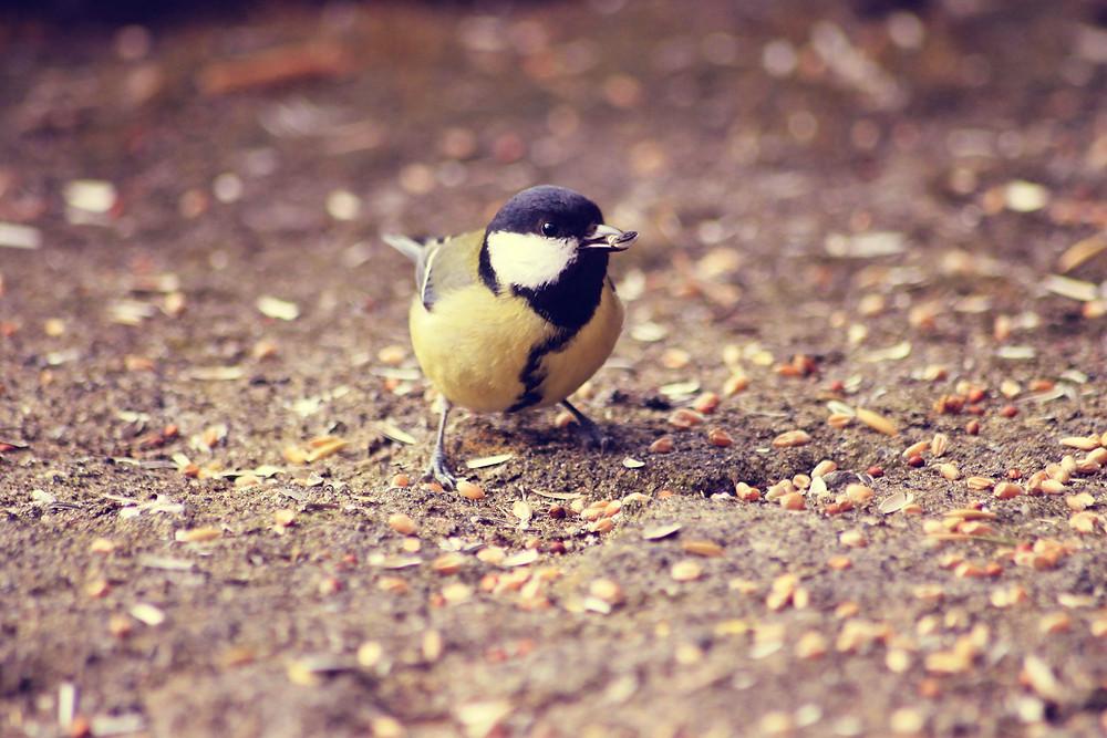 Ein Vogel sammelt Vorrat (Samenkorn) mit seinem Schnabel