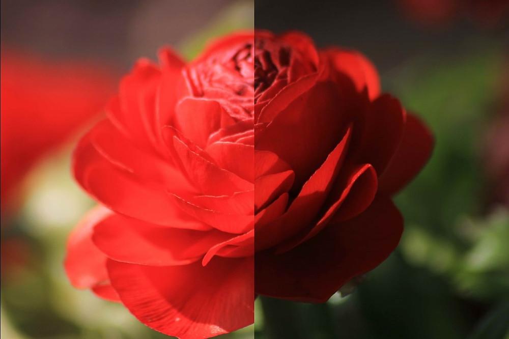Ein Rose, gespalten in hell (links) und dunkel (rechts)