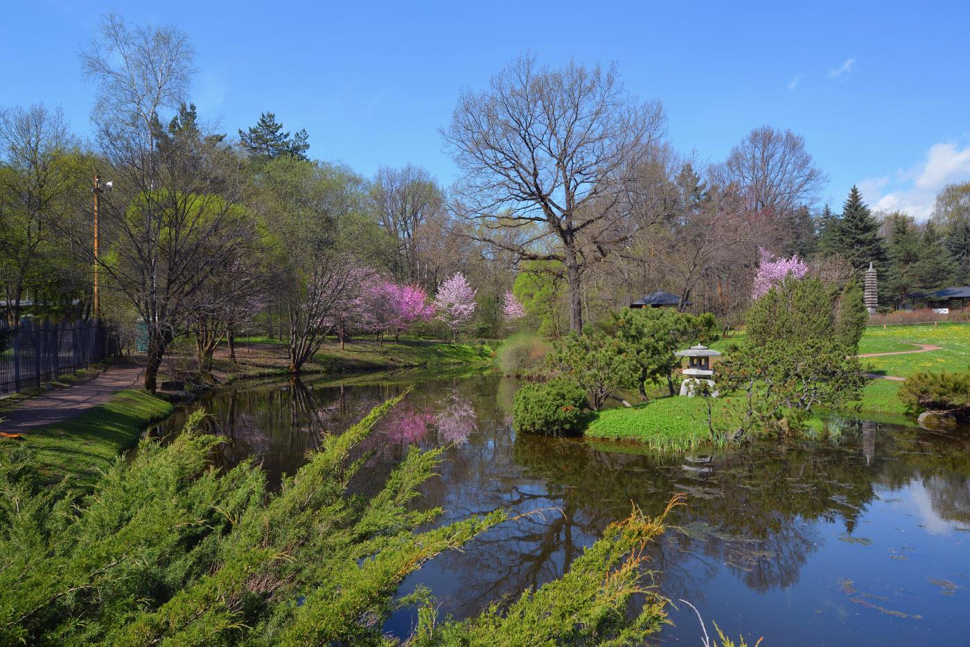 Цветение сакуры в Японском саду ГБС