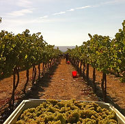 Chardonnay_grapes_harvested_from_Wykoff.