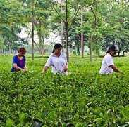 Tea-Estate-Manager-1.jpg