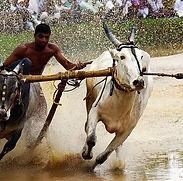 bullock-race.jpg