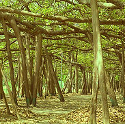 400px-The_Great_Banyan_Tree.jpg