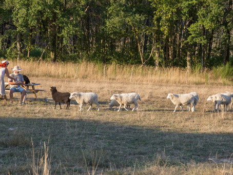 crazy spring in the charente (with sheep)