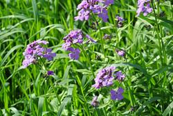 Purple Dabs