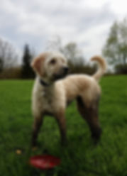 Muddy dog goldendoodle