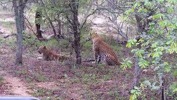 Adventure trip of a Lifetime Safari - Leopards in Africa