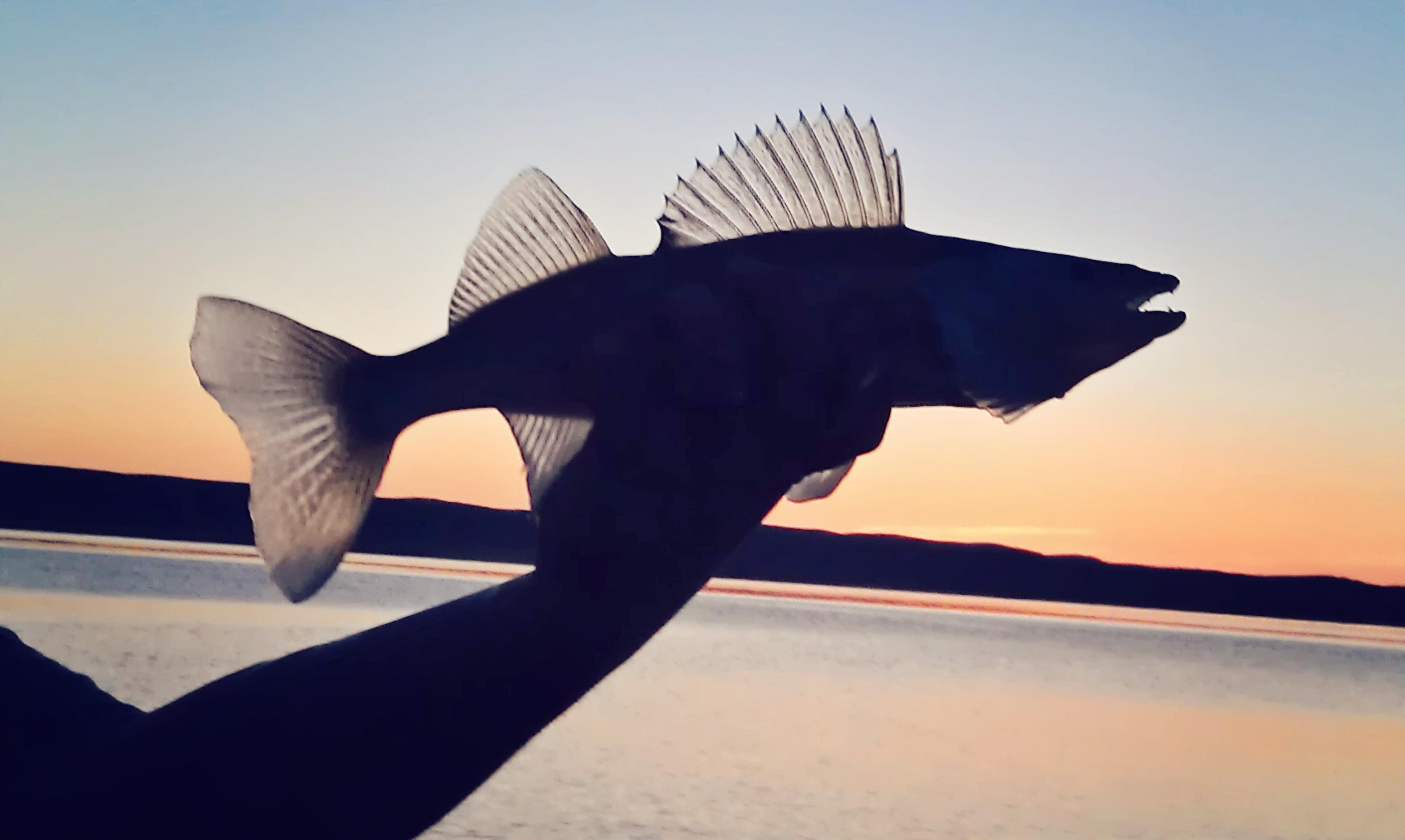 fishsil