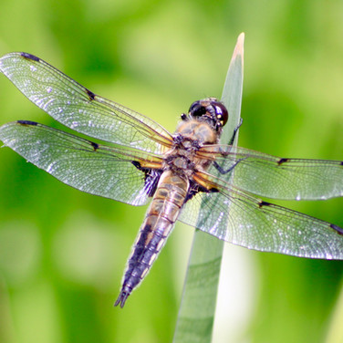 Four Spotted Chaser.