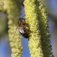 Honeybee on Hazle