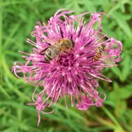 Honeybee & Hoverfly