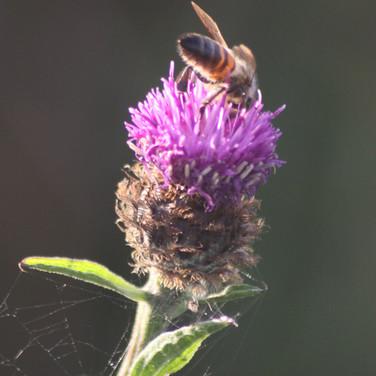 Honybee on thistle.
