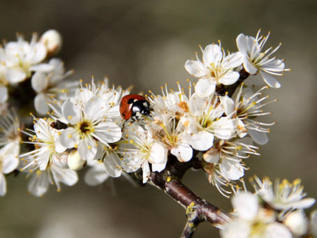 The Blackthorn Winter.