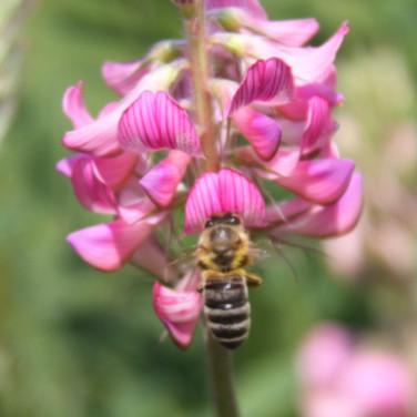 Honey Bee on Sainfion.