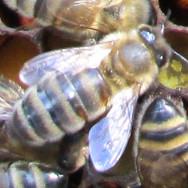 Honey Bee female worker.