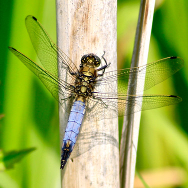 Male Black-tailed Skimmer.