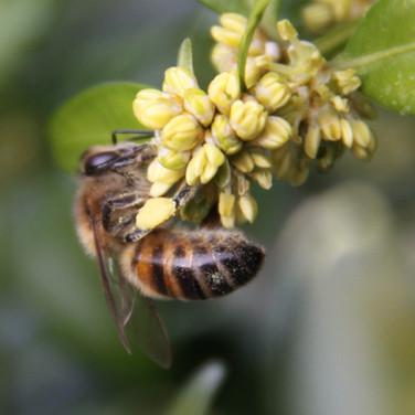 Female worker Honey Bee on Box