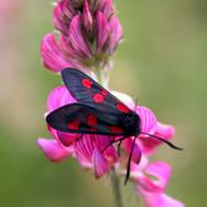 Five-spotted Burnet moth.