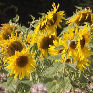 Sunflower field margin