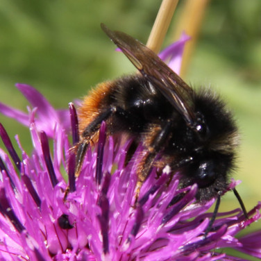 Red-shanked Carder Bee.