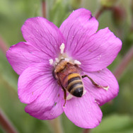 Honey bee worker on mallow.