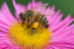 P-Pollenhöschen.jpg