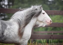 (In Foal to) SD Prince Caspian