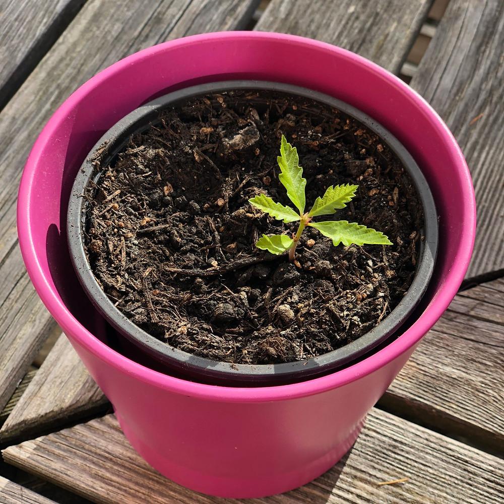 Waldunterricht: Die gepflanzte Eiche