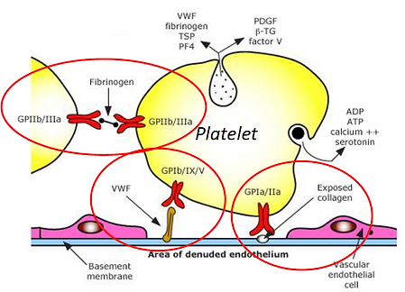 Platelet-receptor interactions.png