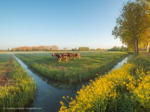 Groep koeien in het weiland