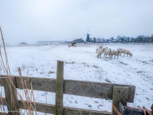 Schapen in winters Buren