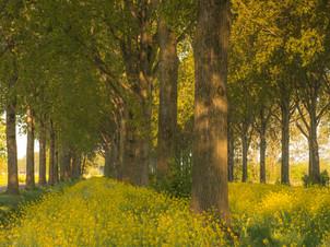 Koolzaad tussen bomen