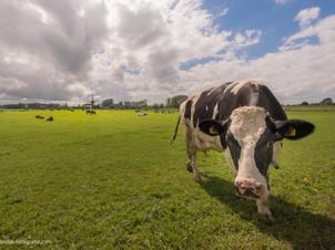 Nieuwsgierige koe