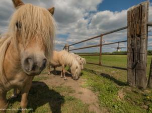 Pony's in het weiland bij molen